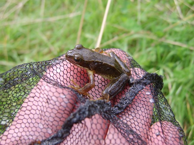 Not all amphibians are as lucky to be rescued as this frog - but things are looking up.