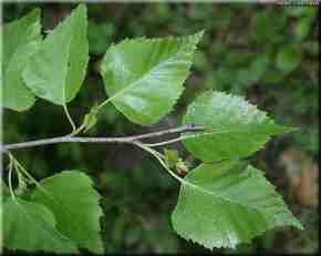 Image result for silver birch leaves