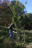 Volunteer David pruning a fruit tree